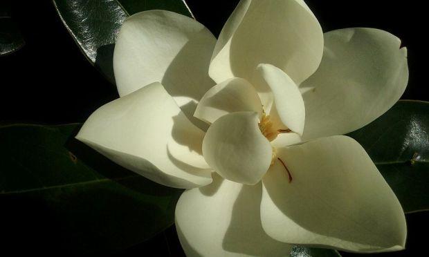 DPTaughtMe Magnolia Tree Lesson